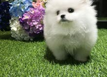 White Charming Pomeranian puppies