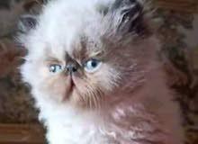 قط بيكي فيس شكولات العمر شهرين جميل جدا في حالة جيدة استيراد مصر