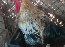 دجاج ايراني تعزيلة قفص