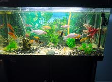 koi Karp and gold fish for sale