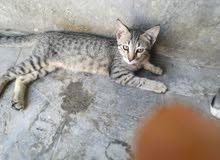 قطه هجين شيرازي