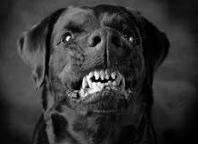 مطلوب كلب بلدي لون اسود