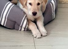 Puppy - Golden Retriever