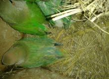 عصافير روز اوبلاين زوج بفروخابا1000دينارباافروخه