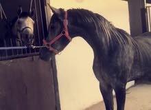 حصان واهو العمر ثلاث سنوات حفيد العديد الشقب معسوف ولله الحمد سليم لايشكو من شي في الرياض