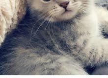 قطوه برتش عمرها 5 شهور قطوه بيت تحب تلعب و متعوده على لتر بوكس+دفتر التطعيم
