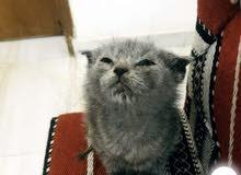 قطه بريطانية / british kitten