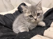 قطه سكوتش ستريت ذكر وانثى