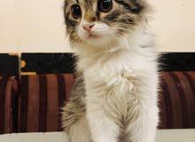 قطه شيرازي لعوب