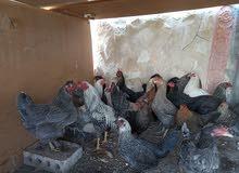 للبيع 19 دجاجه وديك جاج بياض