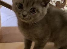 Cute British Short Hair Kitten (برتش شورت هير)