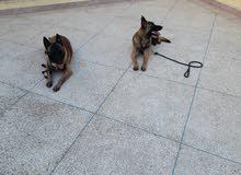 كلاب المالينوا للبيع