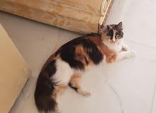 قط شيرازي مدرب وجاهز وجميل