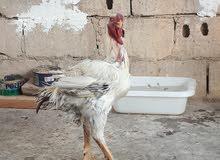 فواخر الدجاج الفارسي