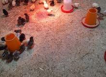 صيصان دجاج للبيع