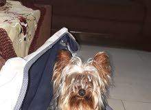 كلب نوع يوركشايرللبيع