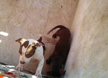 كلاب بيتبول للبيع
