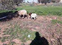 نعجه توميه سنها سداس تحتها خروف وفطيمه