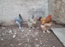 دجاج براهما جامبو