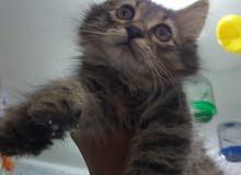 قطه فارسي