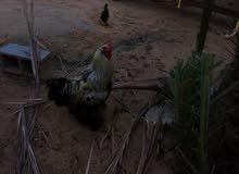 دجاج ابرهم