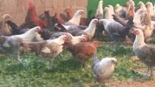 السلام عليكم دجاج فيو مي
