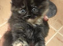 قطط هملايا العمر شهرين