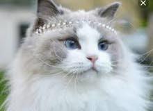 توصايت جميع انوااع القطط والكلاب بجميع الاعمار من اوكراانيا 0798753172