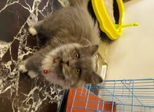 قطة سكوتش العمر 3اشهر