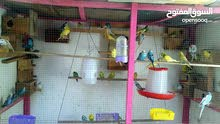 مطلوب  عدد 2 إناث طيور العشاق ( البادجي )