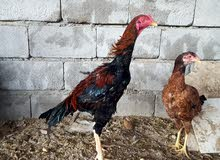 ديج هندي بعده هرفي على وجه تعوعي دجاجه هنديه بيضه وكاطعه على وجه بياض بعر60 الف