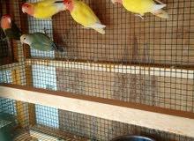 للبيع طيور الروز