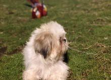 كلب شتسو