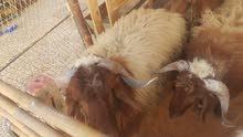 Nuaimi sheep
