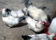 دجاج سوسكس العدد 5 و ديك