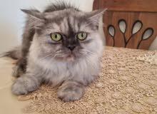 قطة هيمالايا منجبه عمر 11شهر مع جواز التطعيم