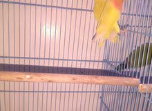 lotino love bird breeding pair