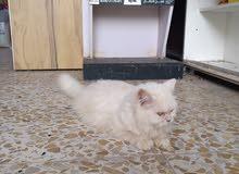 قطة هيملايا