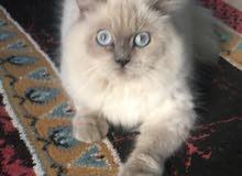قطه للبيع هملايا