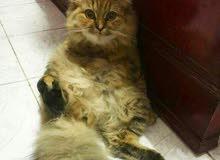 قطة 7 شهور للبيع
