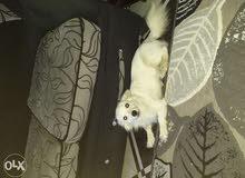 كلبه لولوه فوكس فرنساوي