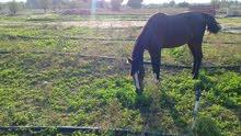 حصان طيب سيله وسراج