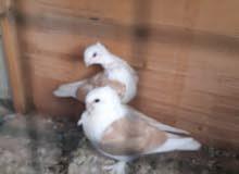 اريد هيج طيور مجتفات بصفر بحمر اريد هيج طيور مجتفات بصفر بحمر