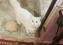 زوج قطط الانثى هملايا الاصلي والذكر شيرازي الاصلي