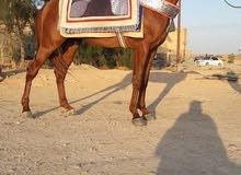 للبيع حصان أشقر 87% ثلاثة سنوات ونصف