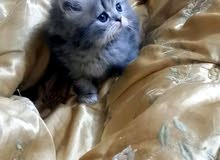 قطط صغار للبيع