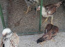 ديك وثلاث دجاجات فوارس