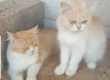 قطط فارسيه وجه مفطس