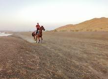 خيل للبيع اسمه لامو حصان قوي جدا حسان ريس وينفع لي السباق