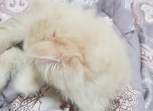 قطط شيرازي اعمار مختلفه للبيع